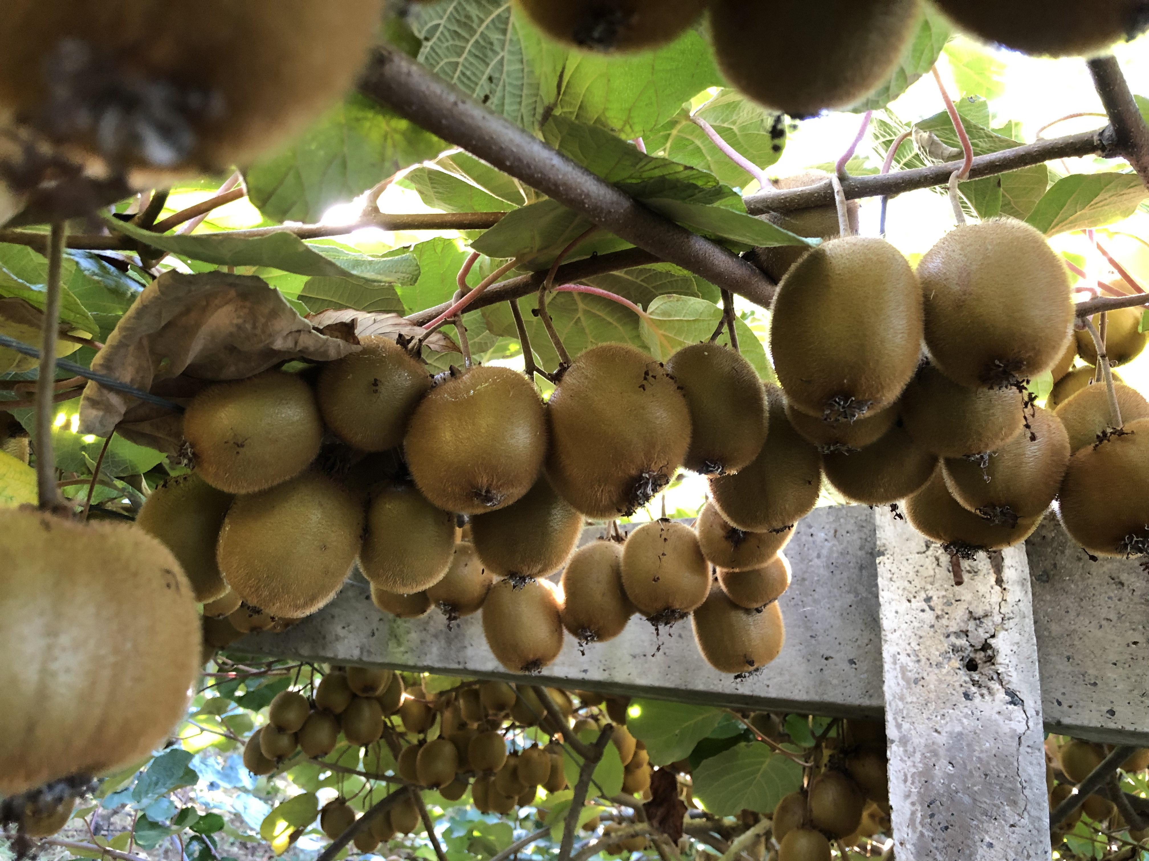 http://www.omu.edu.tr/sites/default/files/files/faculty_of_agricultures_kiwifruits_are_on_sale/omu_kivi_2018_4.jpeg
